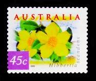 几内亚花- Hibbertia scandens,澳大利亚的本质-沿海花serie,大约1999年 库存图片