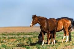 几匹美丽的马在领域吃草 图库摄影