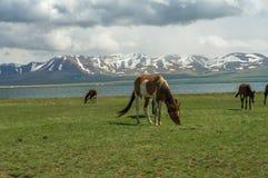 几匹马在一个高山草甸吃草 库存图片