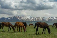 几匹马在jailoo吃草 库存图片
