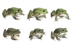 几只大青蛙 库存照片