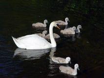 几只天鹅游泳 免版税库存照片