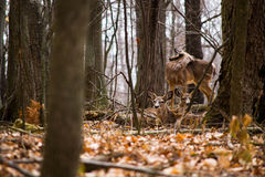 几只幼小白尾鹿。 免版税库存照片