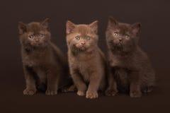 几只幼小英国小猫 库存图片