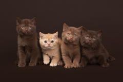 几只幼小英国小猫 免版税库存照片