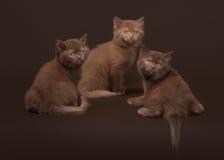 几只幼小英国小猫 图库摄影