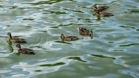 几只母野鸭也称野鸭语录platyrhynchos游泳在湖波浪的在Luhacovice附近,捷克,下 股票录像