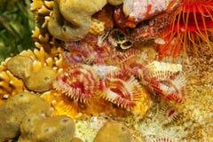 几只海洋蠕虫分裂冠羽毛喷粉器 免版税库存照片