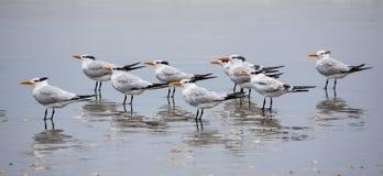 几只皇家燕鸥(Thalasseus maximus)在海滩 免版税图库摄影