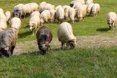 几只绵羊在草哺养在草甸 免版税库存照片