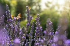 几只蝴蝶飞行在被日光照射了淡紫色 免版税库存照片