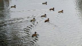 几只逗人喜爱的鸭子 免版税库存照片