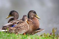几只鸭子在公园在夏天 库存图片