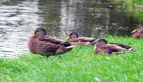 几只鸭子在公园在夏天 库存照片