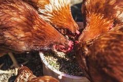 几只从碗的棕色母鸡啄饲料 库存照片