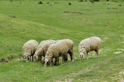 几只绵羊牧场地在草甸 库存图片