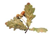 几在分支绿色的秋天叶子在白色上色了被隔绝 免版税库存图片