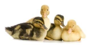 几天鸭子四 免版税库存照片