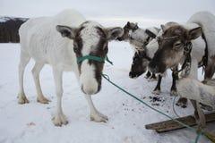 几头鹿被束缚对雪撬 库存照片