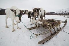 几头鹿被束缚对雪撬 免版税库存照片