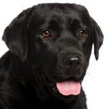 几年的3接近的拉布拉多老猎犬 库存照片