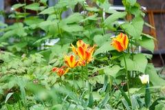 几开花的火焰镶边郁金香 库存照片