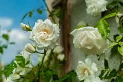 几开花的白色玫瑰色关闭在被弄脏的绿色和天空蔚蓝背景 免版税图库摄影