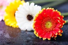 几朵大丁草雏菊,低调在黑色 免版税图库摄影