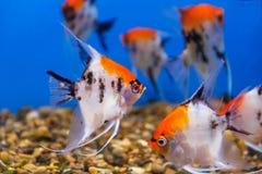 几条三角形状的scalare鱼 库存图片