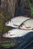 几条淡水鱼:白色鲂或银鱼,白眼睛b 免版税库存照片