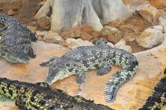几条鳄鱼在鸟舍 免版税库存照片