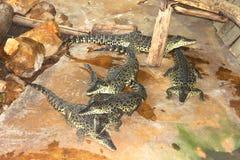 几条鳄鱼在鸟舍 库存照片