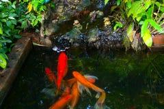 几条koi鲤鱼鱼 免版税库存照片