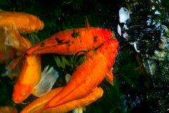 几条koi鲤鱼鱼 库存图片