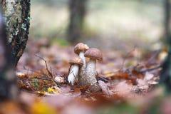 几棕色盖帽牛肝菌蕈类在秋天森林里 免版税库存照片