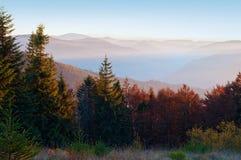 几棵年轻云杉特写镜头,杉木,橙色落叶树 库存图片