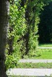几棵白杨树树干在城市晴朗的夏日 免版税库存图片
