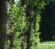 几棵白杨树树干在城市晴朗的夏日 免版税图库摄影