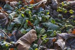 几片绿色和棕色叶子在霜的地面上 库存图片