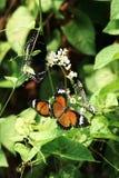 几的特写镜头橙色黑白色蓝色上色了蝴蝶坐白花 免版税图库摄影