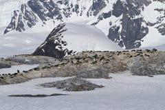 几群在南极海岛上的Adelie企鹅a的 免版税库存照片