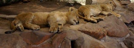 几头小逗人喜爱的狮子休息 免版税库存图片