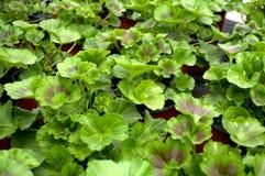 几绿色马斯喀特,拉丁名字`天竺葵` 免版税库存图片