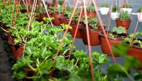 几绿色马斯喀特,拉丁名字`天竺葵` 库存图片