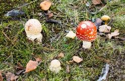 几musrhooms在森林里 免版税库存图片