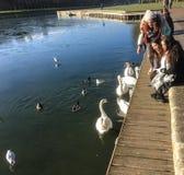 凡尔赛访客在1月喂养天鹅和鸭子在半冻湖 免版税库存照片