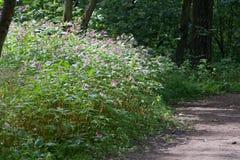 凤仙花从深深道路的Impatiens glandulifera明亮的被日光照射了丛林在森林,俄罗斯 免版税图库摄影
