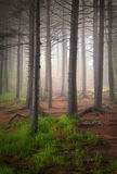 凤仙花蠕动的雾森林高大的树木 免版税图库摄影