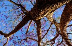 凤凰木,紫罗兰色花奇怪的形状  图库摄影