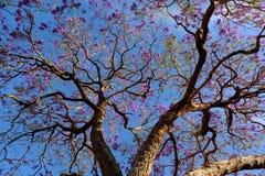凤凰木,紫罗兰色花奇怪的形状  免版税库存图片